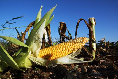 acre corn harvest