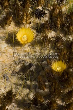 echinocactusbluehte
