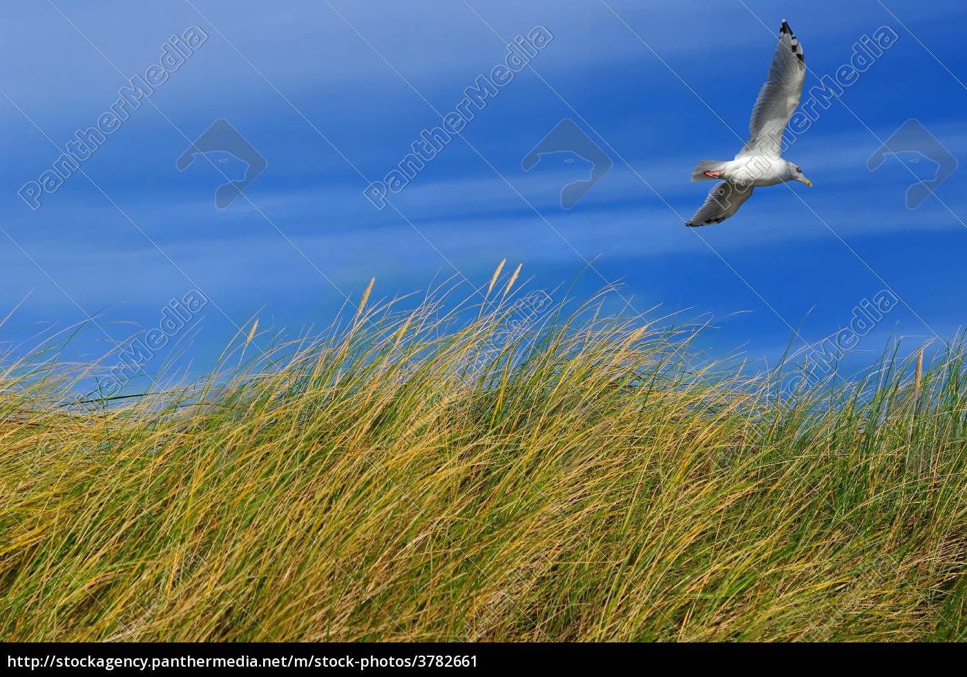 north, sea, dune, grass, with, seagull - 3782661