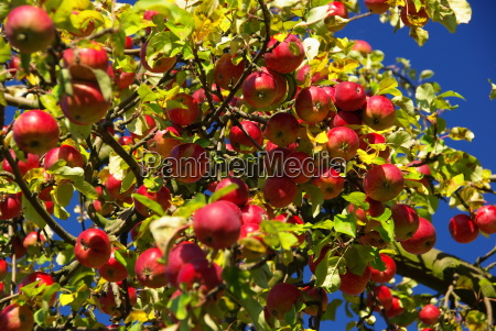 apfel apple 08