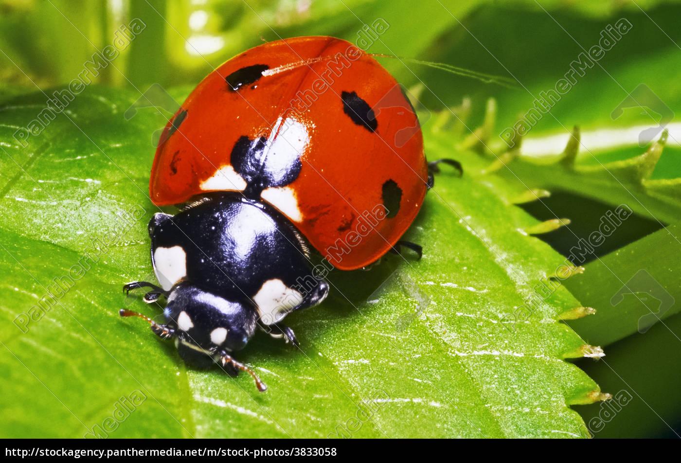 macro, portrait, of, the, ladybug, - 3833058