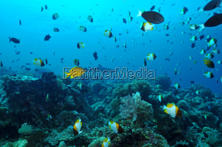 diving on apo reef
