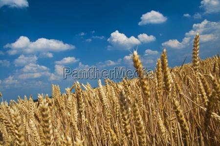 cornfield in midsummer