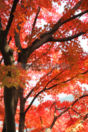 japanese maple in autumn