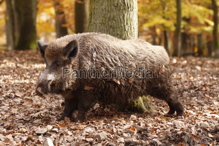 boar in close