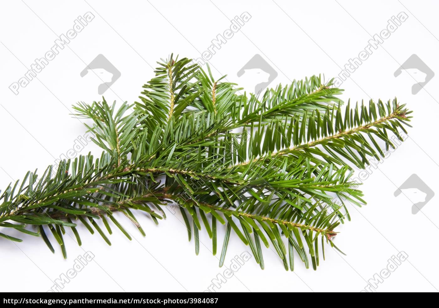 small, fir, branch - 3984087