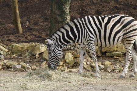 zebra in close
