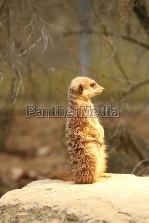 meerkats in close