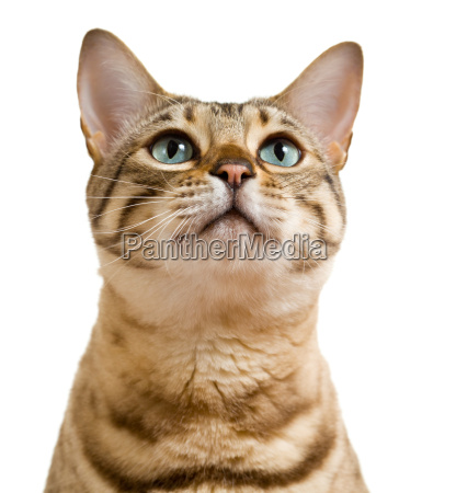 cute bengal cat looks plaintively at