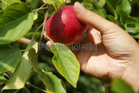 hand picking apple in a tree