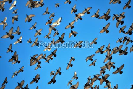 many flying pigeons