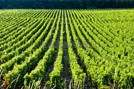 vineyard burgundy france