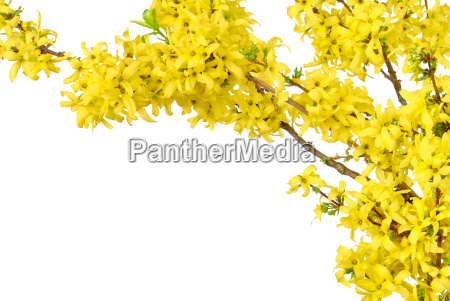 springy frame of forsythia
