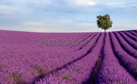 rich lavender field with a lone