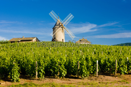 vineyards with windmill near chenas beaujolais