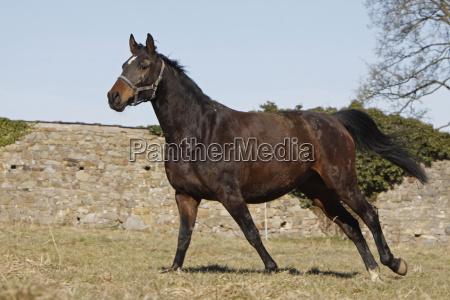 galloping trakehner