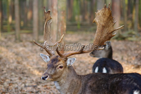 finto deer portrait in the forest