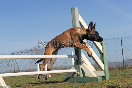 jumping puppy malinois