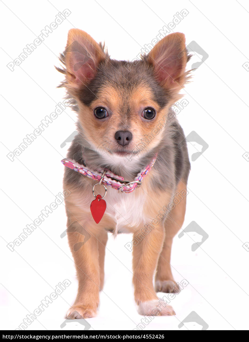 Chihuahua Puppy Standing With Collar And Name Tag Stock Image 4552426 Panthermedia Stock Agency