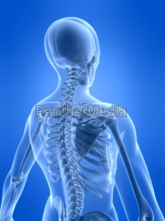 human skeletal back