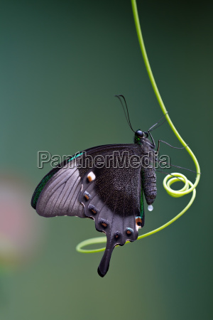 butterfly mariposa mito