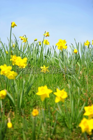 colorful daffodils in the meadow