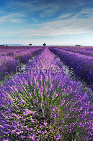 lavender field in provence in the