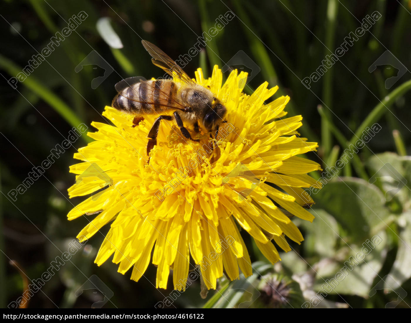 bee, and, blossom - 4616122