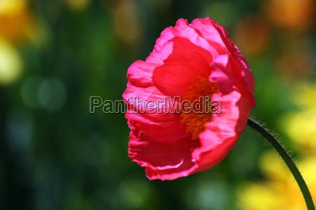poppy flower in backlight