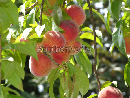 several ripe peaches hanging on the