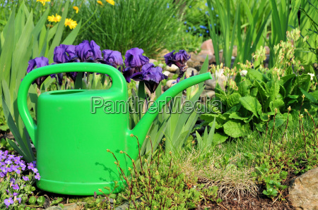 watering can and purple lilies