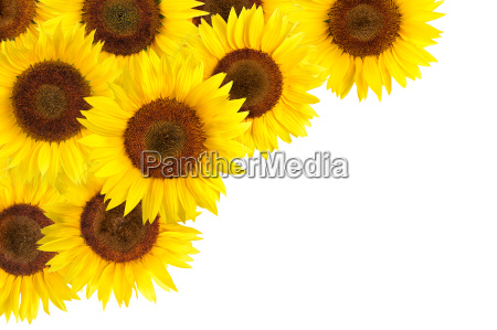 sunflower as background ornament