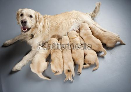 female dog of golden retriever with