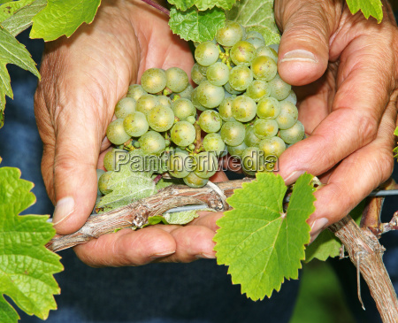 grapes in hand vine grapes
