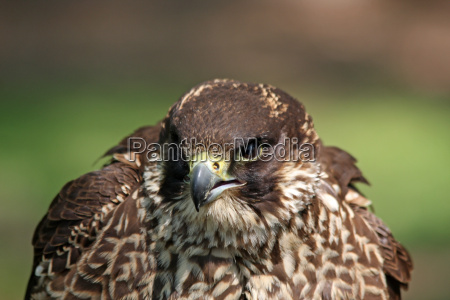 animal bird birds falcon birds of