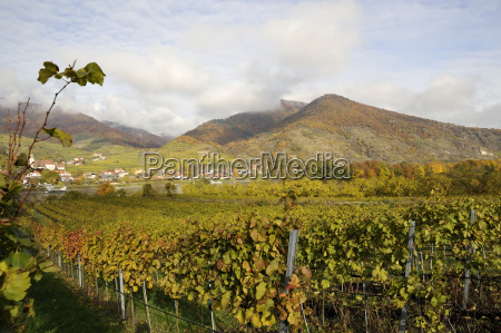 harvest vines danube grapes bunches of