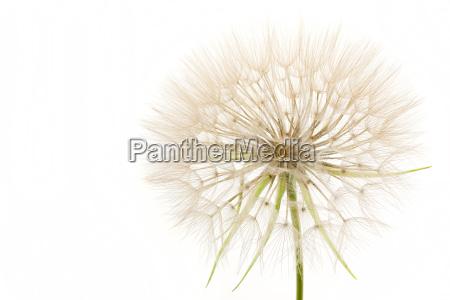 dandelion isolated on white background