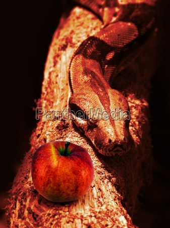 snake and red apple