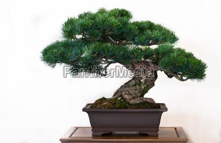 pine pinus as bonsai