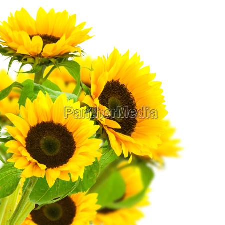 sunflowers border
