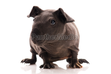skinny guinea pig isolated on the