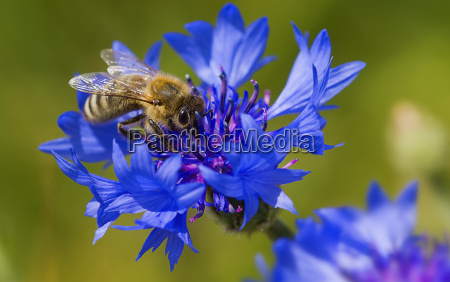 bees and cornflowers they belong together