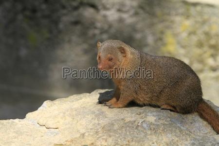 dwarf mongoose in close up