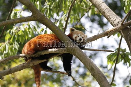 red panda in close up