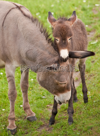 donkey with foal