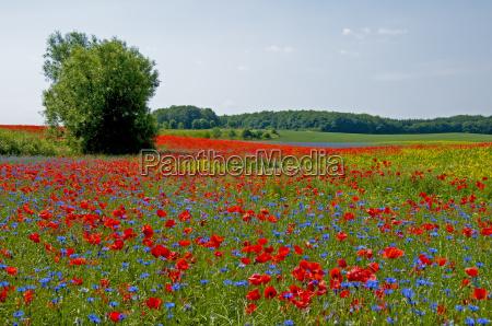 flower meadow in mecklenburg