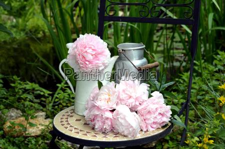 pink peonies in the garden