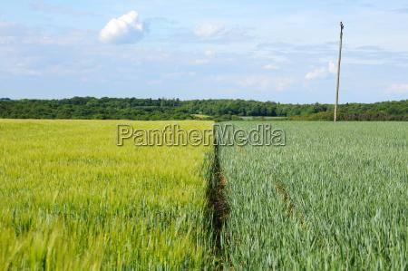 zielony korn ziarno kornfeld getreidefeld zasiew