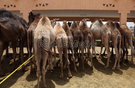 camel market in al ain abu