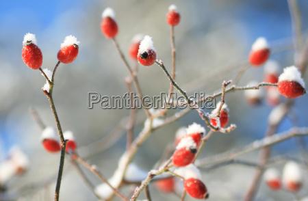 rosehip in winter